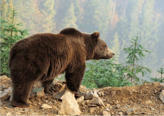bear-baer-flashcards-allaboutdeutsch
