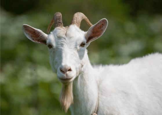 goat-ziege-flashcards-allaboutdeutsch