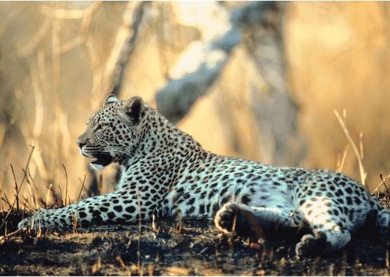 leopard-flashcards-allaboutdeutsch