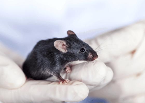 rat-ratte-flashcards-allaboutdeutsch