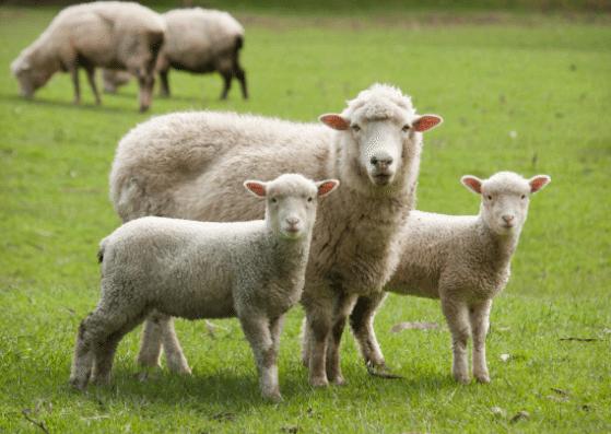 sheep-schaf-flashcards-allaboutdeutsch