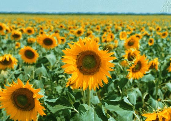sunflower-sonnenblume-flashcards-allaboutdeutsch