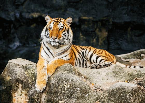 tiger-tiger-flashcards-allaboutdeutsch